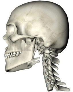 Side View of Cranium